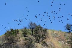 A Flock of Crows (linda m bell) Tags: malibucreekstatepark calabasas california 2019 birdwatching socal crows flock