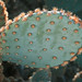 Engelmann Prickly Pear -  Desert Botanical Garden, Phoenix