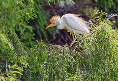 Cattle Egret (noblesgeorge1) Tags: