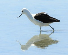 Life Bird: Andean Avocet (Ruby 2417) Tags: andean avocet bird shorebird wildlife nautre andes atacama chile wetlands salt flats water light