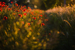 The edge of the field (tonguedevil) Tags: landscape outdoor outside summer countryside nature evening poppies flowers red green colour light shadows sunlight bokeh fujifilm