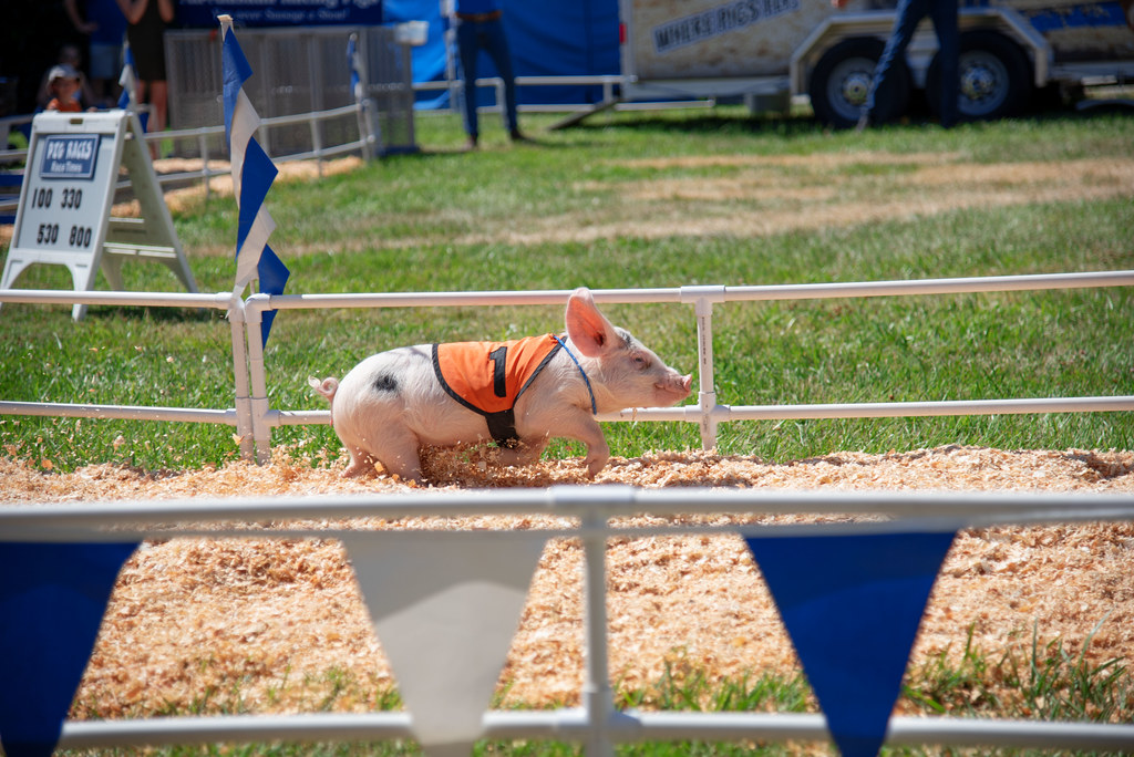 The World's Best Photos of county and pig - Flickr Hive Mind