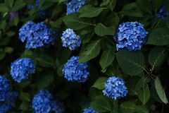 Hydrangea(長弓寺) (HarQ Photography) Tags: panasonic lumix s1r japan nara 長弓寺 temple flower hydrangea spro70200mmf4