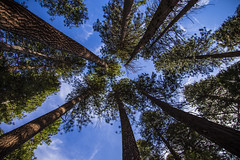 Looking Up in Yosemite (CraDorPhoto) Tags: canon6d nature outside outdoors trees sky blue california usa yosemite
