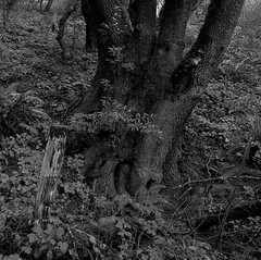 Live Oak (bingley0522) Tags: hasselblad500cm carlzeissplanar80mmf28 tmax400 hc110h epsonv500scanner ranchosanantonio cupertino santaclaracounty stump forest autaut