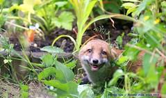 Urban Red Fox Cub....... (law_keven) Tags: fox foxes redfox foxcub catford london england wildlife wildlifephotography photography urbanfox urbanredfoxcub