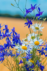 Bouquet of field flowers of daisies and Larkspur field (wuestenigel) Tags: wheat spring natural landscape blossom flower daisy background bouquet herb floral plant camomile meadow beautiful bright sokyrkiflowers summer nature purple green chamomile yellow wildflowers white