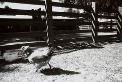 Porst SP Rancho Los Alamitos 7 (▓▓▒▒░░) Tags: ranch camera bw white black slr art classic film monochrome museum architecture analog germany lens mexico design los angle mechanical antique farm grant cosina wide style retro longbeach land vivitar rancho csm foma porst fomapan alamitos vintgae spainsh photoquelle