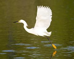 Snowy egret (Egretta thula) - Playa Pesquero, Holguin, Holguín Province, Cuba - Feb 2019 (Dis da fi we) Tags: snowy egret egretta thula playa pesquero holguin holguín province cuba