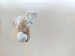L'azuré et le coquillage (Nadège Gascon) Tags: fz300 lumix ngphotographe charente nature macro papillon