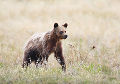 Grizzly Cub (ashockenberry) Tags: ashleyhockenberryphotography animal wildlife wildlifephotography wild wilderness west reserve eco beautiful beauty vacation majestic mountains mammal nature naturephotography natural native bear grizzly cub alberta canada