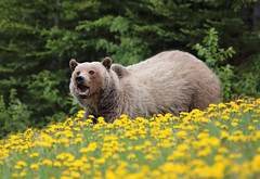 Grizzly Bear Sow (ashockenberry) Tags: ashleyhockenberryphotography animal beautiful beauty vacation travel tourism forest majestic mountains mammal mountain nature naturephotography natural native northern habitat omnivore predator powerful teeth alberta canada