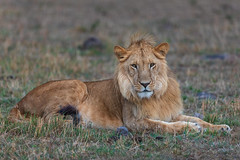 Future King (Xenedis) Tags: africa afrika animal bigcat bigfive cat chelipride eastafrica gamedrive grass kenya lion maasaimara maranorthconservancy narokcounty pantheraleo republicofkenya riftvalley safari savannah simba wildlife