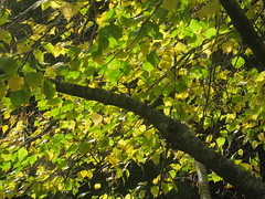 The Gold and Green Leaves of a Beech Tree in the Formal Gardens; the Garden of St Erth - Simmonds Reef Road, Blackwood (raaen99) Tags: gardenofsterth sterth sterthgardens sterthhouseandgardens 1860s 1866 1867 victoriangeorgianarchitecture victoriangeorgianbuilding victoriangeorgianhouse victoriangeorgiancottage victoriangeorgianstyle house home cottage domesticarchitecture victoriana nineteenthcentury 19thcentury building architecture matthewrogers maryannerogers simmondsreef victoriangoldrush goldrush goldrushera sandstone stone verandah corrugatedironroof corrugatediron iron hippedroof roof walls window door diggersclub diggers diggersgardeningclub diggersgardenclub gardeningclub gardenclub garden blackwood victoria australia grounds grass greenery leaves tree trees leaf autumn fall autumnal bushes shrubs shrubbery houseandgardens autumnalcolours