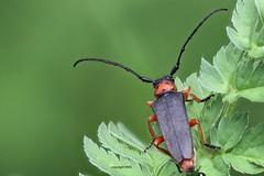 Phytoecia affinis, field-stack (Phil Arachno) Tags: cerambycidae germany badenwürttemberg ravensburg beetle käfer coleoptera arthropoda insecta walzenhalsbock focusstacking heliconfocus eos80d