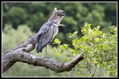 IMG_0030 Grey Heron (Scotchjohnnie) Tags: greyheron ardeacinerea waterbird waterfowl wadingbird wader ornithology bird birdphotography birdwatching ukbirds wildlife wildlifephotography wildanimal wildandfree nature naturephotography