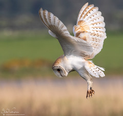 Barn Owl Hovering (Steve (Hooky) Waddingham) Tags: animal countryside coast bird british barn nature northumberland flight wild wildlife prey planet hover hunting owl