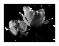 Tulipany B&W (andrzejskałuba) Tags: poland polska pieszyce dolnyśląsk silesia sudety europe plant plants roślina rośliny kwiat kwiaty flower flora floral flowers tulip tulipan tulipany tulips beautiful biały black beauty bw blackwhite white macro natura nature natural natureshot natureworld nikoncoolpixb500 ogród garden wiosna shadow spring cień