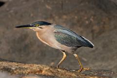 Striated Heron 1 (RoosterMan64) Tags: australia australiannativebird bird heron nature southwestrocks striatedheron wildlife