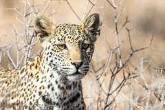 Young female leopard (Willievs) Tags: pantherapardus wildlife kgalagadi leopard luiperd mbali