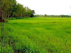 Emerald paddies  2 (SierraSunrise) Tags: thailand phonphisai nongkhai isaan esarn plants crops rice paddies ricepaddies paddyrice farming agriculture grain poaceae