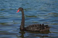 Black swan - Cygne noir (Sam Photos with Sony native jpeg) Tags: cygnes lyon swan swans cygne river france couple rhône quai black noir noirs