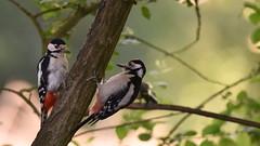 Great Spotted Woodpeckers, Dinton Pastures (rq uk) Tags: rquk nikon d750 dintonpastures bitternhide juvenile nikond750 tamronspaf150600mmf563divcusd adult greatspottedwoodpecker