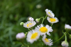 Flowers in the wild (Abhay Parvate) Tags: flowers wild nature white macro bokeh