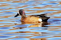 Blue Winged Teal (tdjohns2) Tags: bluewingedteal duck waterfowl lake robbinslake cedarrapids iowa avian ducks