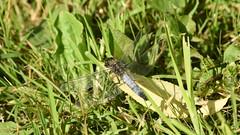 Male Black-tailed Skimmer Dragonfly (rq uk) Tags: rquk nikon d750 dintonpastures nikond750 afsnikkor70200mmf28efledvr afsteleconvertertc14eiii blacktailedskimmer male dragonfly