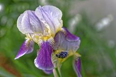 Une beauté de la nature (GEMLAFOTO) Tags: iris fleur flower michelgauthier nikond7100