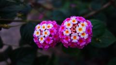 Lantana flower (Mathew S Thomas) Tags: flower hillstation munnar flora kerala keralam sonyrx100m3 sonyrx100