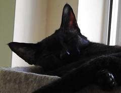Afternoon Sieste (annette.allor) Tags: black cat feline chat sleep nap kakashi