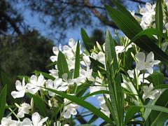 Podgorica, centar (ForceMajeureMontenegro) Tags: podgorica montenegro crnagora černáhora karadağ svartfjallaland park flowers white canonflickraward canon canonpowershotsx10is flickrunitedaward