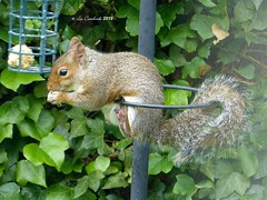 Grey squirrel (LPJC (away for a long weekend)) Tags: greysquirrel home nottinghamshire uk 2019 lpjc