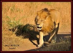 LION KING (Panthera leo).....MASAI MARA......SEPT,2018. (M Z Malik) Tags: africa nikon leo kenya wildlife safari lionking masaimara keekoroklodge d3x flickrbigcats exoticafricancats exoticafricanwildlife 200400mm14afs ngc npc