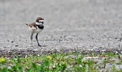 Ready To Take On The World (In Explore) (Meryl Raddatz) Tags: bird killdeer chick nature naturephotography wildlife canada