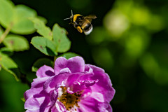 Heading to the next flower (langdon10) Tags: norway bee bug flower flowers inflight insect leaf macro rose