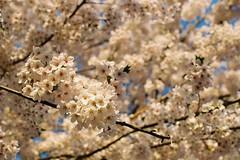 No less beautiful than Hirosaki's (しまむー) Tags: pentax mz3 fa 43mm f19 limited kodak gold 200 弘前城 桜祭り