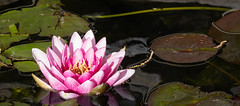 Day 587 | Water Dancer (JL2.8) Tags: boise idaho unitedstatesofamerica lily flower pond day587 canon 6dmk2 project365 365 photochallenge