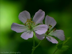 I reckon being ill as one of the great pleasures of life, provided one is not too ill.... (itucker, thanks for 5+ million views!) Tags: macro green bokeh wildflower hggt dukegardens