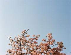 桜 (tsubasa8336) Tags: 桜 銀塩 写真 フィルム pentax67 pentax pentax6x7 taipei taiwan tamsui 淡水 台北 台湾 天元宮 櫻 櫻花 花見 中片幅 中判 底片 mediumformat film filmphotography filmcamera flower