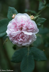 Rose (Hans Olofsson) Tags: ros rose flower blomma