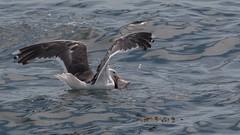 Les Bergeronnes, Les Escoumins, (3) (Michel et Micheline) Tags: lesbergeronnes lesescoumins québec canada canon canon70d 2019 wildlife baleines fleuve eau mer nature oiseaux birds