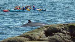 Les Bergeronnes, Les Escoumins, (4) (Michel et Micheline) Tags: lesbergeronnes lesescoumins québec canada canon canon70d 2019 wildlife baleines fleuve eau mer nature oiseaux birds