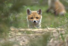 Curious (heric09) Tags: fox kit animal cute wildlife nature