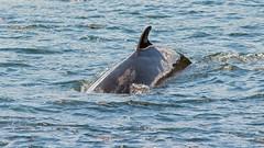 Les Bergeronnes, Les Escoumins, (1) (Michel et Micheline) Tags: lesbergeronnes lesescoumins québec canada canon canon70d 2019 wildlife baleines fleuve eau mer nature oiseaux birds
