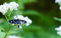 Blue butterfly (remitico) Tags: farfalle insetti montagna natura butterflies nature nikon d7500 outside