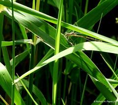 Slender Spreadwing_N2947 (Henryr10) Tags: miamieriehistoriccanal gilmoremetropark gilmorepondspreserve hamiltonoh preserve libélula dragonfly dragonflies libellula libellule libelle drekafluga spreadwing lestesrectangularis lestes slenderspreadwing odonata damselfly