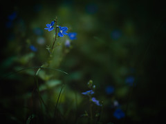 Blue (Petr Horak) Tags: czechia dcg9 f12 g9 lumix mzuikopro mft zuiko blooming blossom bokeh closeup flower foliage nature petals
